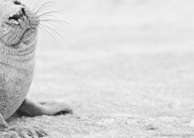 Grey seal pup: Sable Island